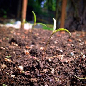 quinoa sprouts grown from seed