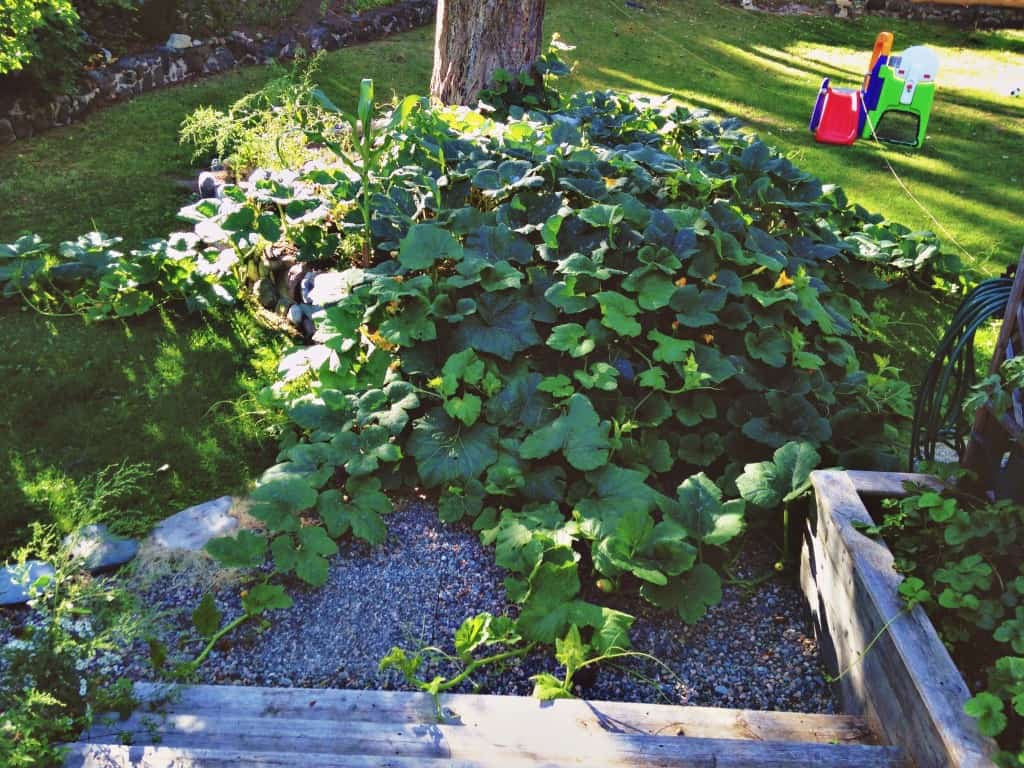 overgrown butternut squash plant